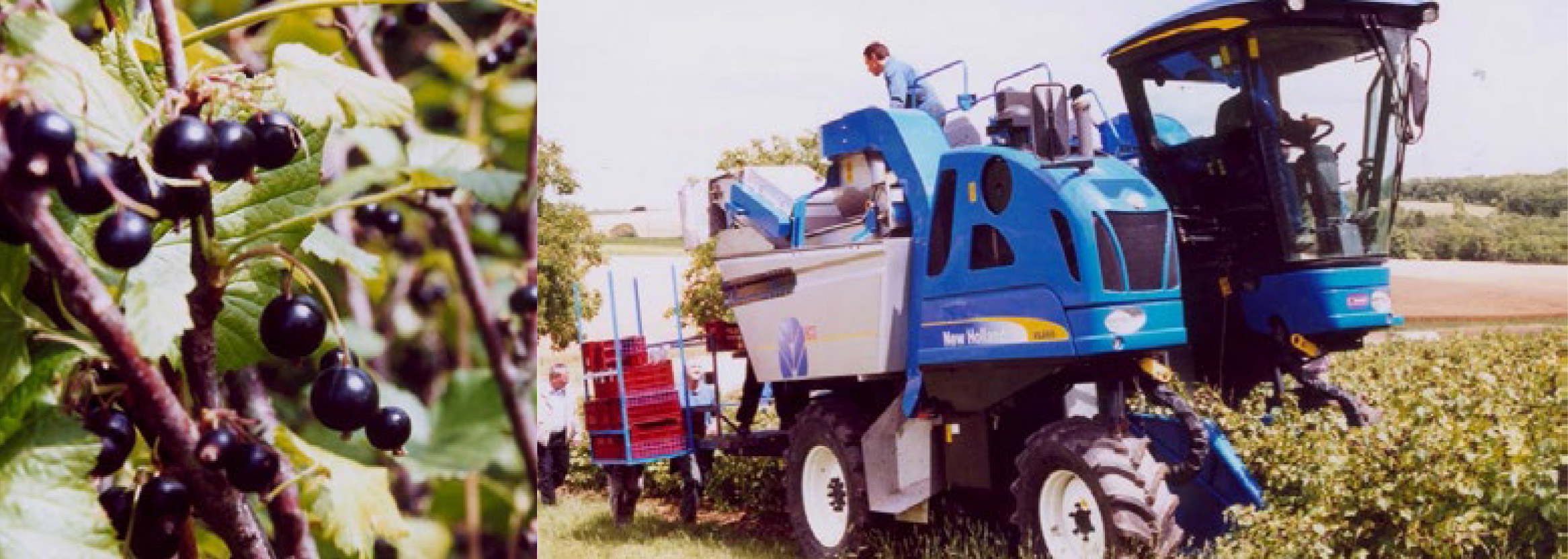 berry harvesting machine